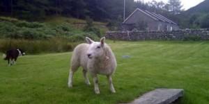 我也不知道怎麼辦,我家的羊一直以為他是狗...