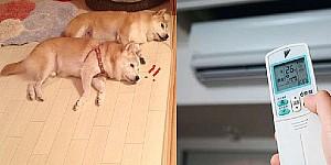 主人怕狗狗太熱,開個冷氣讓他們清涼一下,結果竟適得其反...傻眼ING....